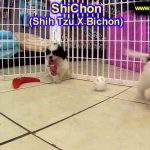 ShiChon, Puppies, For, Sale, In, Springfield, Missouri, MO, St  Charles, St  Joseph, O'Fallon, Lee's