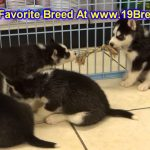 Siberian Husky, Puppies, For, Sale, In, Springfield, Missouri, MO, St  Charles, St  Joseph, O'Fallon