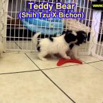 Teddy Bear, Puppies, For, Sale, In, Springfield, Missouri, MO, St  Charles, St  Joseph, O'Fallon, Le