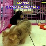 Morkie, Puppies, For, Sale, In, Springfield, Missouri, MO, St  Charles, St  Joseph, O'Fallon, Lee's