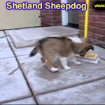Shetland Sheepdog, Puppies, For, Sale, In, Springfield, Missouri, MO, St  Charles, St  Joseph, O'Fal