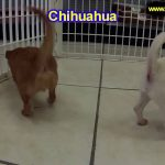Chihuahua, Puppies, Dogs, For Sale, In Kansas City, Missouri, MO, 19Breeders, Springfield