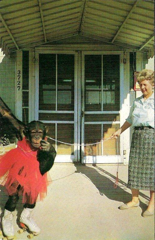 Vicky Lynn the Chimp