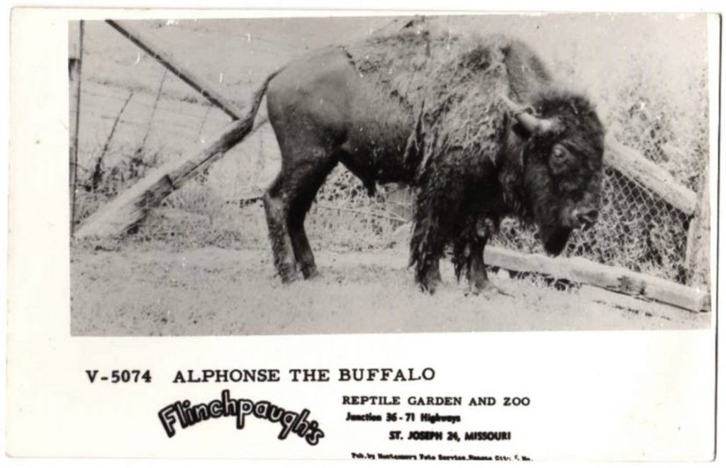 Buffalo at Flinchpaughs in 1951
